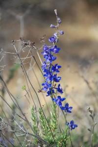 Delphinium parryi flowers
