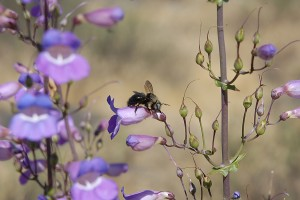 A Mountain Carpenter Bee robbing nectar from a Penstemon spectabilis flower.