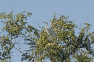 One of the four Great Egrets. Photo by Tad Beckman.