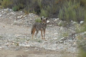Coyote, photographed at the BFS in May of this year.