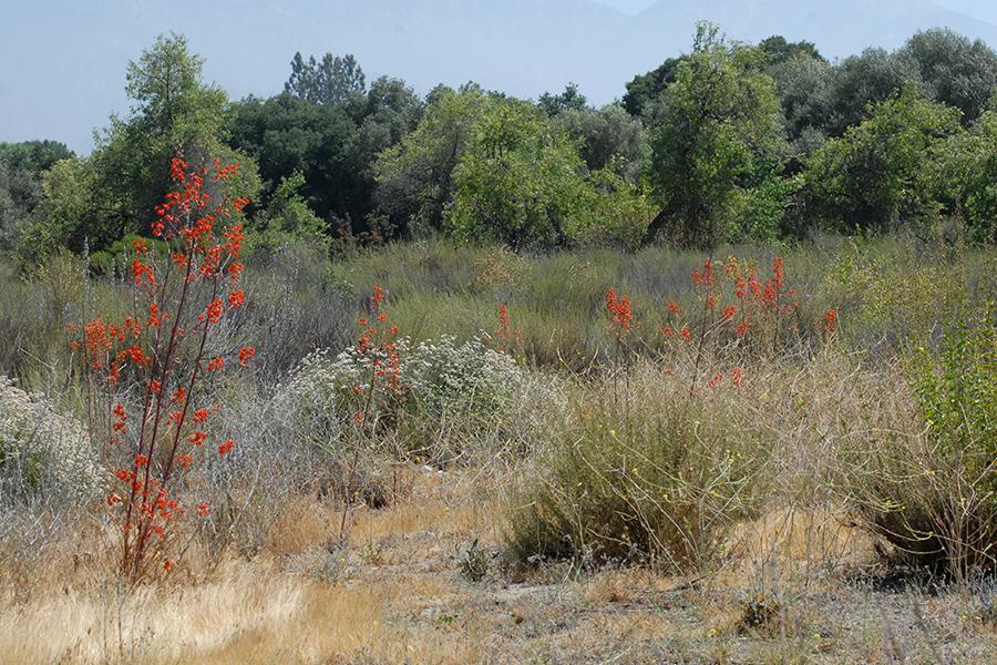 Wildflowers, NPS, SAMO NRA - Delphinium cardinale detail page