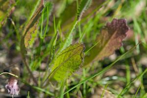 Brassica tournefortii leaves. Nancy Hamlett.