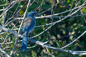 A Western Scrub Jay at the south shore of pHake Lake. Nancy Hamlett.