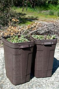 Two trash cans full of Italian Thistles. Nancy Hamlett.