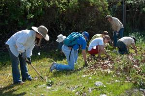Volunteers pull thistles. Nancy Hamlett.