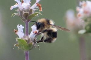 A Black-tailed Bumble Bee, Bombus melanopygus, on Black Sage (Salvia mellifera). Nancy Hamlett.