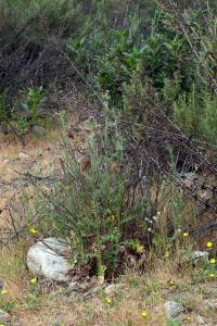 Italian thistles (Carduus pycnocephalus) growing among native vegetation in the 'Neck'. Nancy Hamlett.