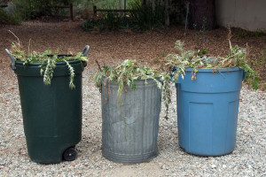 Three large trash containers packed full of Sahara Mustard and Italian Thistles. Nancy Hamlett.