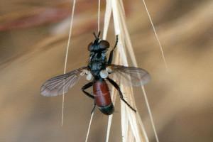 A tachnid fly, Cylindromyia sp. Nancy Hamlett.
