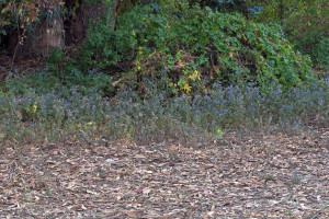 The area below the Abilene gate cleared of Sahara Mustard (Brassica tournefortii). Nancy Hamlett.