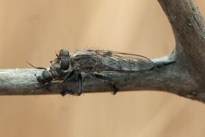 A robber fly, Machimus occidentalis, with a small scarab beetle (Dichelonyx truncata) prey. Nancy Hamlett.