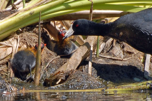 An American Coot (Fulica americana) feeding chicks in the cattails. Nancy Hamlett.