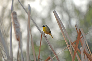 A Common Yellowthroat (Geothlypis trichas) in the cattails. Nancy Hamlett.