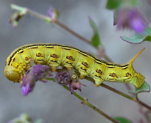 A caterpillar of the White-line Sphinx Moth, Hyles lineata, on one of its host plants, California Four O'Clocks (Mirabilis laevis var. crassifolia) in the recently burned area in the East Field. Nancy Hamlett.