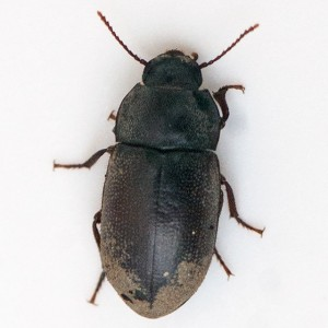 A darkling beetle, Metoponium sp., collected from under the burned bark of a Toyon (Heteromeles arbutifolia). Nancy Hamlett.