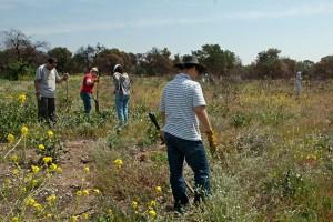 Volunteers seek out and uproot Maltese Star Thistles. Nancy Hamlett.