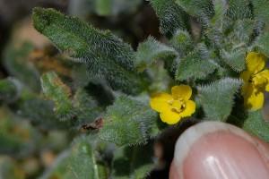 Camissoniopsis micrantha. Nancy Hamlett.