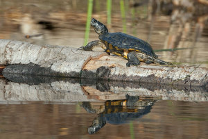 A Red-Eared Slider basks on the log. Nancy Hamlett.