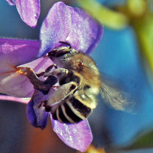 A female California Anthophora (Anthophora californica) on Royal Penstemon (Penstemon spectabilis). Nancy Hamlett.