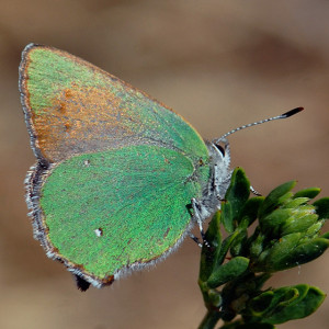 Lotus Hairstreak (Callophrys dumetorum) on Deerweed (Acmispon glaber). Nancy Hamlett.