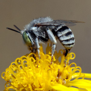 Anthophora curta on Douglas' Threadleaf Ragword (Senecio flaccidus var. douglasii). Nancy Hamlett.