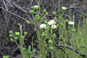 White Pincushion (Chaenactis artemisiifolia) growing in the 'Neck'. Nancy Hamlett.
