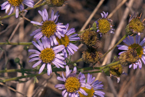Leafy Fleabane (Erigeron foliosus var. foliosus) growing in the East Field. Nancy Hamlett.