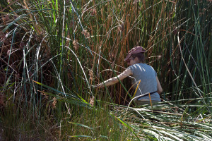 Cutting cattails.