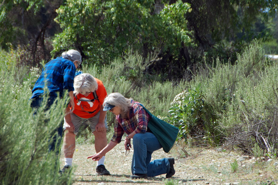 Sue Schenk points out Crassula growing in a fire road on the wildflower tour.