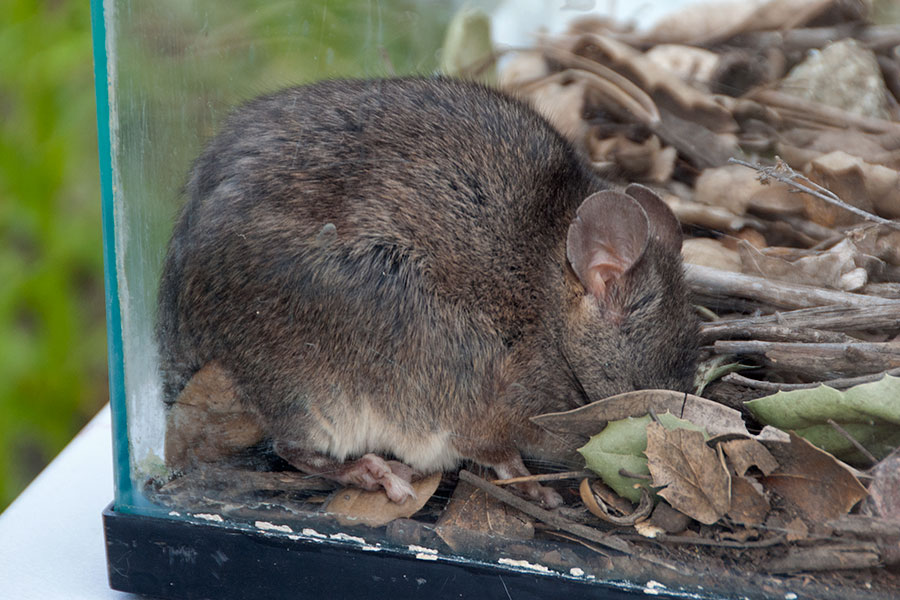 A woodrat naps before the arrival of the family science tour at the mammal station.