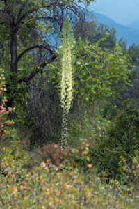 Chaparral Yucca (Hesperoyucca whipplei) blooming the Neck. Nancy Hamlett.