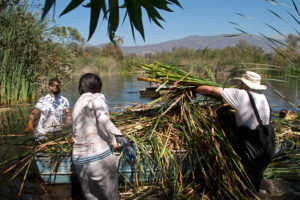 Piling cut cattails into a boat.