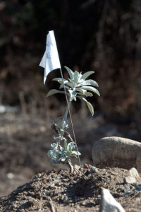 A newly planted White Sage (Salvia apiana).