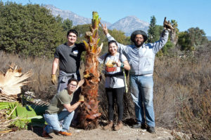 Volunteers vs. palm tree -- the volunteers emerge victorious!