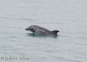 GPI Dolphin