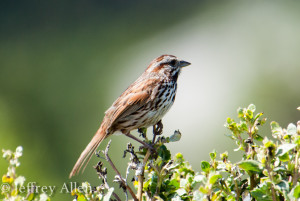 A member of the order Passeriformes. Specifically a song sparrow perching on a bush.