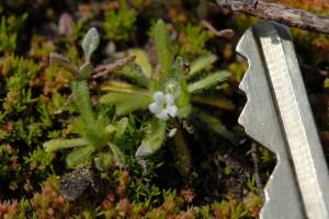Tiny borage in flower