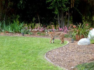 Bobcat in a yard adjacent to the BFS