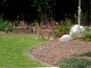 Another view of the Bobcat.