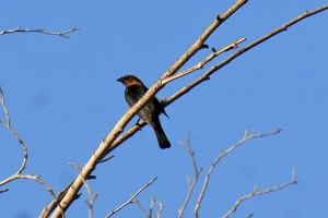A male Brown-headed Cowbird in a tree by pHake Lake, 1 May 2009.