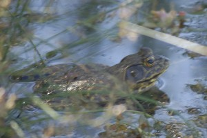 American Bullfrog, Lithobates catesbeianus, in pHake Lake. Photographed last month by Tad Beckman