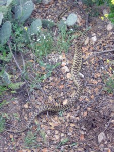 Gopher Snake, , in the Neck. Photographed in April by Allison Dubner, Pomon Biology '09.