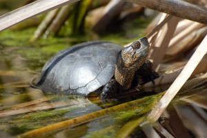Western Pond Turtle, Actinemys marmorata, photographed in April at pHake Lake