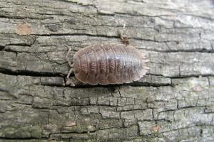 A Woodlouse (Porcellio dilatatus)