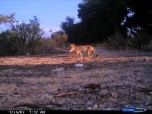 Coyote at dawn, eastern neck BFS (Cuddeback No Flash)