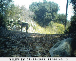 Coyote along western BFS border (Xtreme 2)