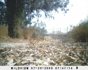 "Coyote at Abilene Way (NW BFS) ""Bubba Cam"""