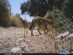 Coyote along western border fence at BFS (Cuddeback)