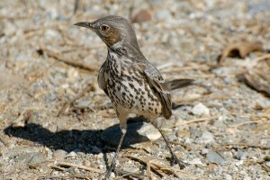 Sage Thrasher at the BFS