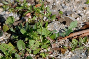 <em>Capsella bursa-pastoris</em> plant with basal rosette of leaves and flowering stalk.